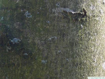 black ash (Fraxinus nigra) trunk