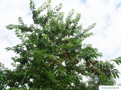 black cherry (Prunus serotina) crown in summer