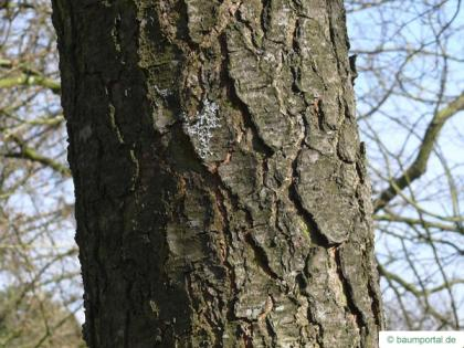 black cherry (Prunus serotina) trunk / bark