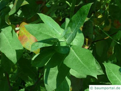 blue gum (Eucalyptus globulus) leaf