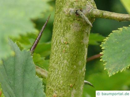 canadian hawthorn (Crataegus canadensis) trunk / bark