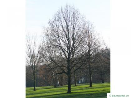 caucasian lime (Tilia x euchlora) tree in winter
