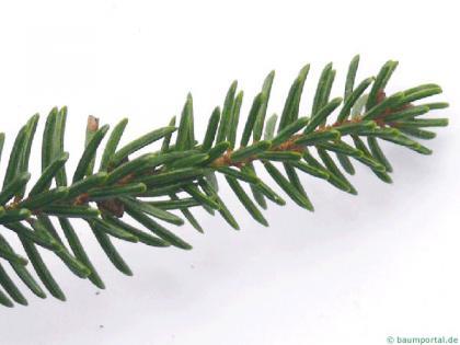 caucasian spruce (Picea orientalis) needle position