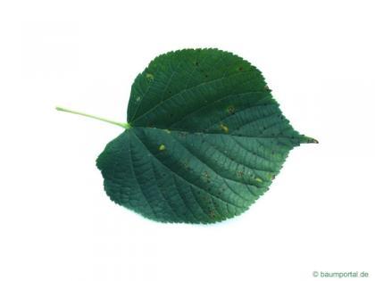 common lime (Tilia intermedia) leaf