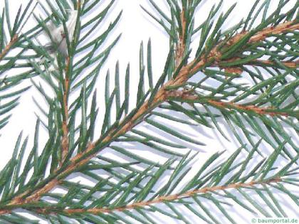 common spruce (Picea abies) branch