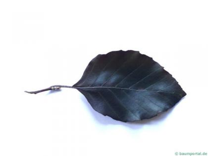 copper beech (Fagus sylvatica purpurea) leaf