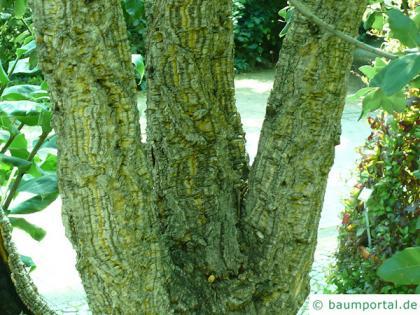 cork oak (Quercus suber) trunk / bark