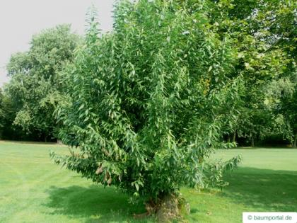 crack willow (Salix fragilis) tree