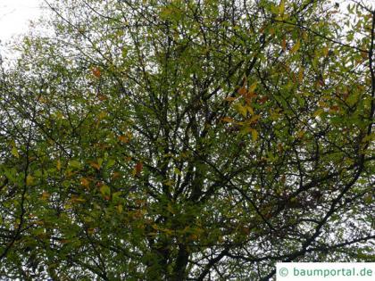 cut-leaf beech (Fagus sylvatica 'Laciniata') tree crown in fall