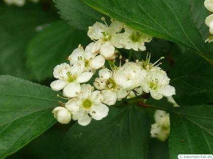 douglas hawthorn (Crataegus douglasii) flowers 2
