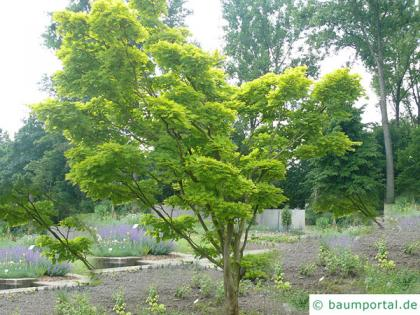 downy japanese maple (Acer japonicum) tree in summer