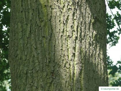 english oak (Quercus robur) trunk / bark