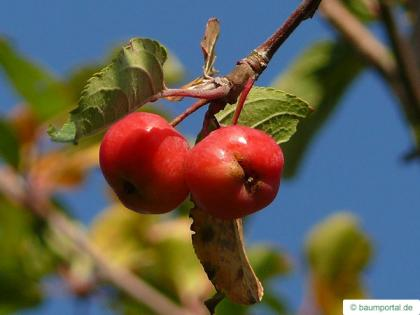 european crab apple (Malus sylvestris) apple fruit / apple