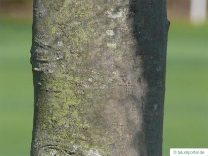 european crab apple (Malus sylvestris) trunk / stem