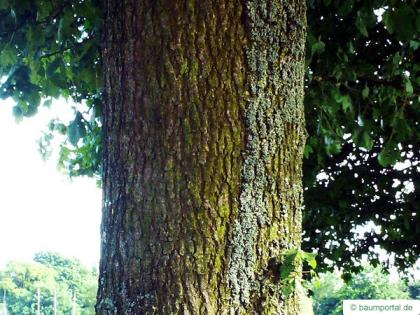 field maple (Acer campestre) trunk / stem