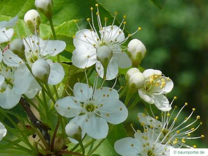 fire cherry (Prunus pensylvanica) flower
