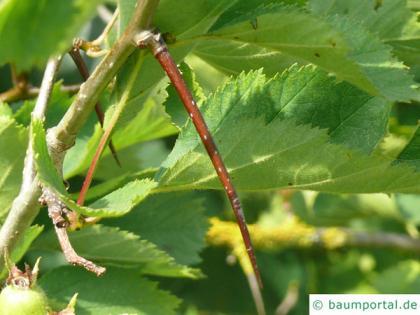 fireberry hawthorn (Crataegus chrysocarpa) thorn