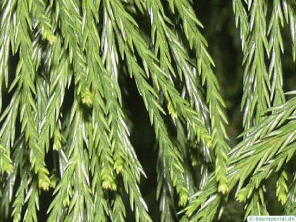 giant sequoia (Sequoiadendron giganteum)  needles