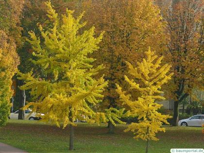 ginkgo (Ginkgo biloba) autumn