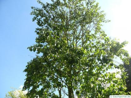 gold birch (Betula ermanii) crown in summer