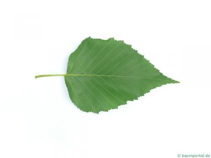 gold birch (Betula ermanii) leaf