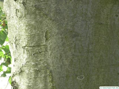 gray alder (Alnus incana) trunk / bark