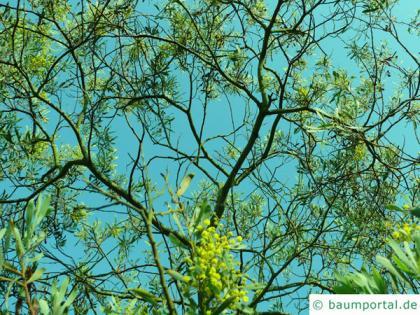 Grey mulga (Acacia brachybotrya) blossom crown