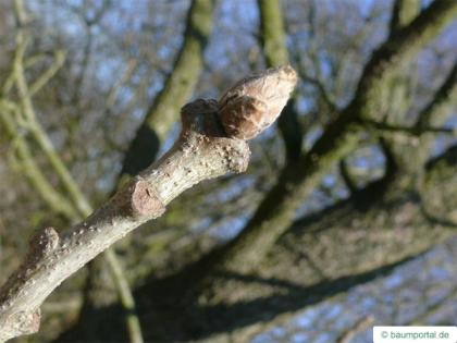 hungarian oak (Quercus fainetto) bud