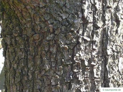 hungarian oak (Quercus fainetto) trunk / bark
