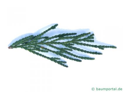 incense cedar (Calocedrus decurrens) needles