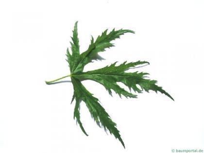 incised norway maple (Acer saccharinum 'Wieri') leaf