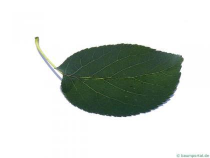 italian alder (Alnus cordata) leaf