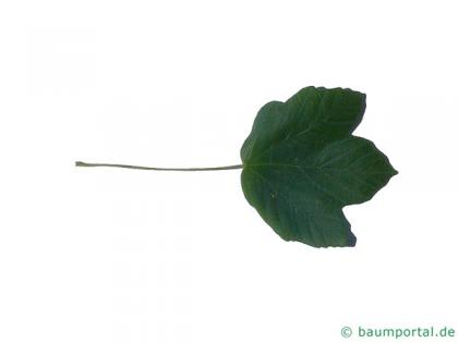 italian maple (Acer opalus) leaf