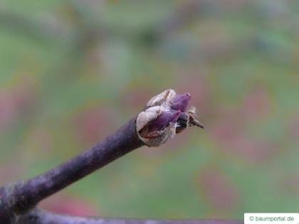 japanese maple (Acer palmatum 'Ozakazuki') bud