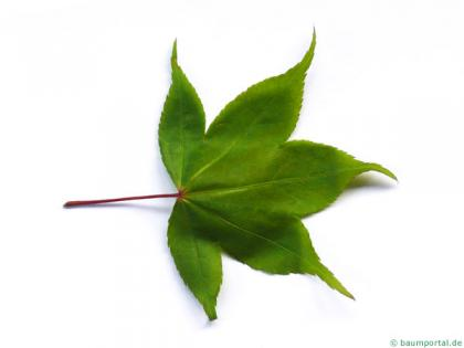 japanese maple (Acer palmatum 'Ozakazuki') leaf