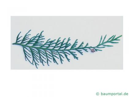 japanese thuja (Thuja standishii) needles