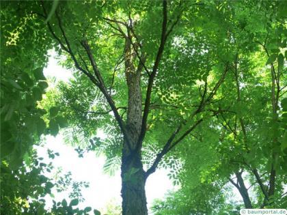 kentucky coffee tree (Gymnocladus dioicus) crown