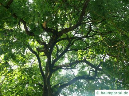 yellowwood (Cladrastis kentukea) tree crown in summer