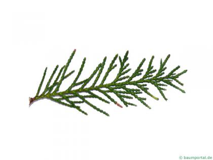 Lawson's Cypress (Chamaecyparis lawsoniana 'Glauca') needles
