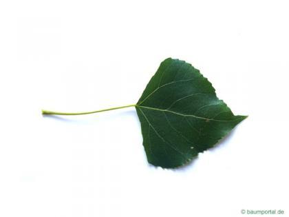 lombardy poplar (Populus nigra 'Italica') leaf