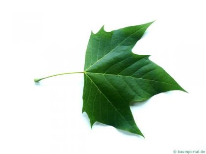 london plane tree (Platanus acerifolia) leaf