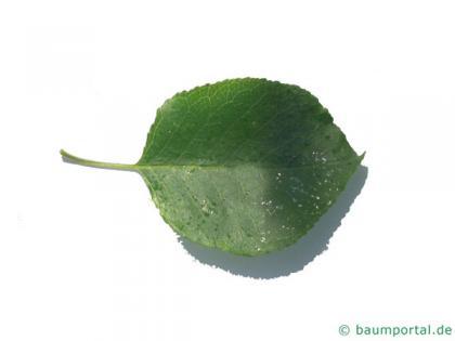 mahaleb cherry (Prunus mahaleb) leaf