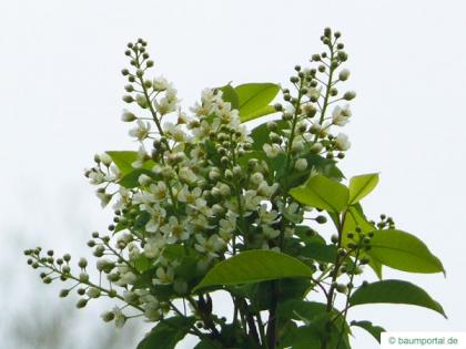 bird cherry (Prunus padus) flowers