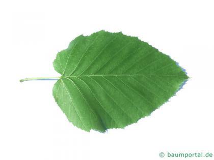 monarch birch (Betula maximowicziana) leaf