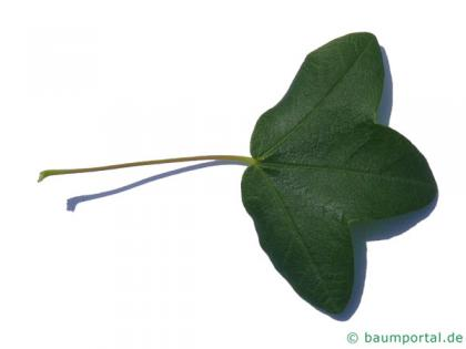 montpellier maple (Acer monspessulanum) leaf