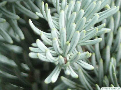 noble fir (Abies procera) needle