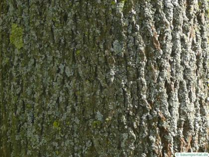 norway maple (Acer platanoides) trunk
