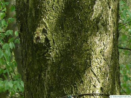 ohio buckeye (Aesculus glabra) trunk /bark
