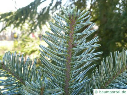 pacific silver fir (Abies amabilis) needles