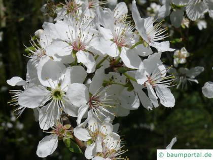 Cherry blossom plum tree prunus domestica subsp syriaca blossoms the flower of mirabelle consists of white umbels with usually 5 petals mightylinksfo